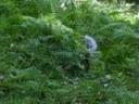 Pepper in the ferns