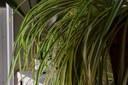 Spider Plant in Art Shop